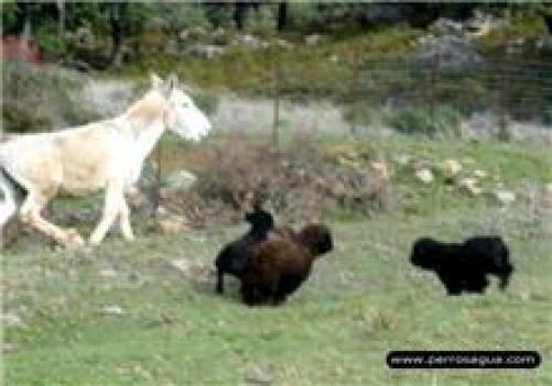 perros-y-burro